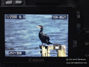 Cormorant On Camera