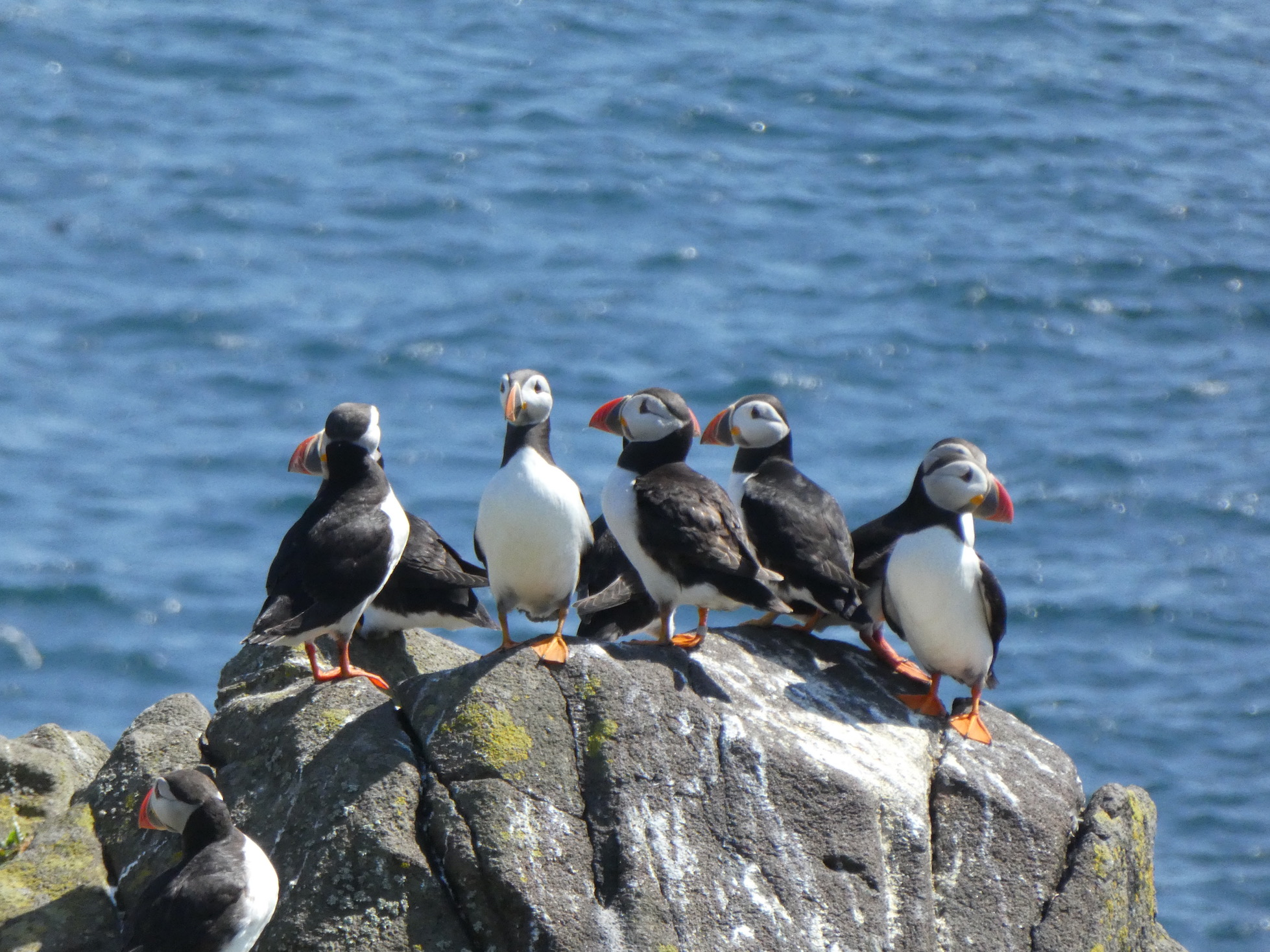 Puffins Galore