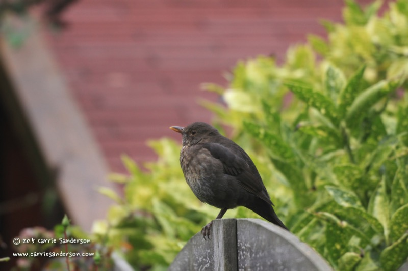 Female Blackbird - The Netherlands