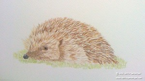 Hedgehog watercolour